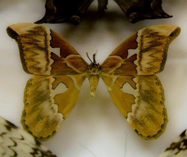 Papillon.