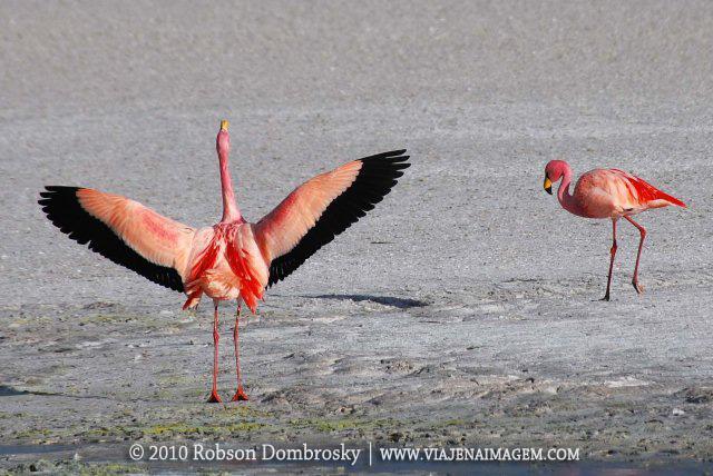 flamingos na bolivia