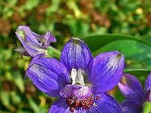 STAPHISAGRIA (Delphininum Staphisagria. Delfinillo)