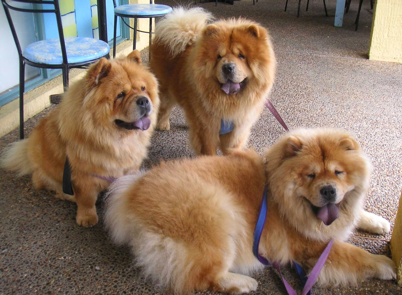 Everything about your chow chow luv my dogs - Images of chow chow puppies ...