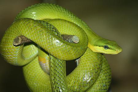 yellow mamba snake - photo #6