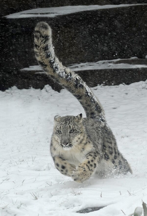 Funny animals of the week - 28 March 2014 (40 pics), snow leopard running