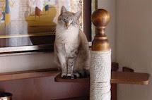 Il gatto europeo le caratteristiche