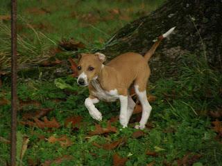 Italian Greyhound Dog