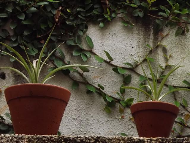 Abacaxi Silvestre, Ananás-de-raposa