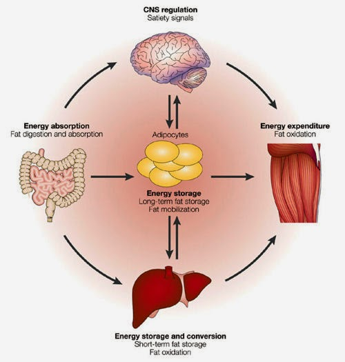 energy and a homeostasis b Leptin and insulin are two primary hormones that regulate energy and  glucose homeostasis, respectively leptin is produced and secreted by  adipocytes in.