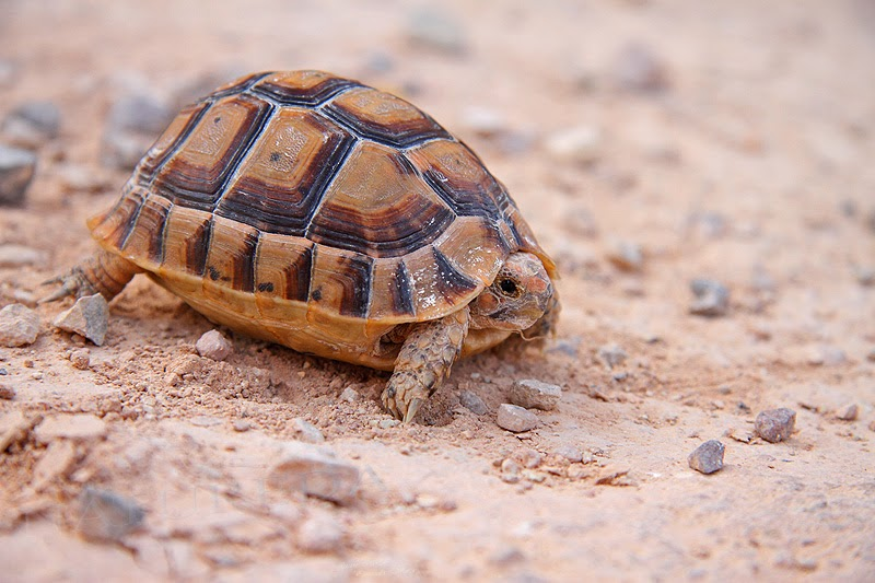 1000 ideas about tortue graeca on pinterest tortue