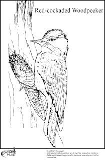 red cockaded woodpecker coloring pages