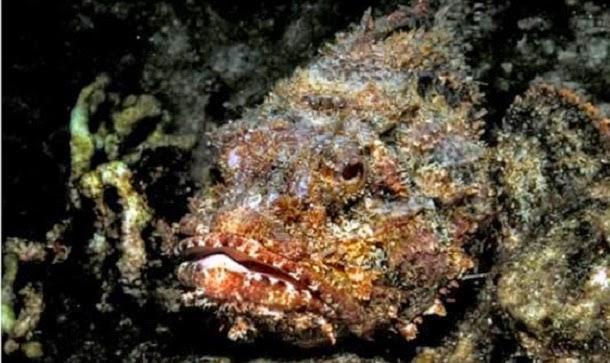 Peixe-pedra (Synanceia verrucosa)