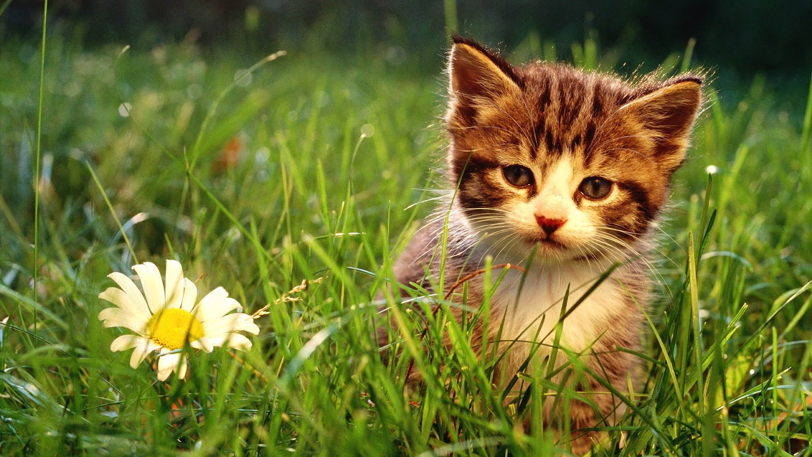 природа животное котенок кот  № 1981203 без смс
