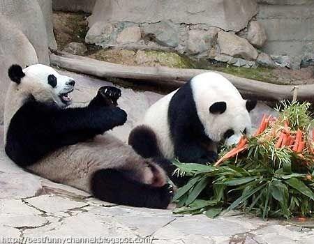 panda bears pictures 37