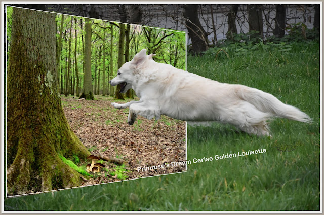 golden retriever ,louisette, libert, primrose's dream cerise, hors cadre, psp,