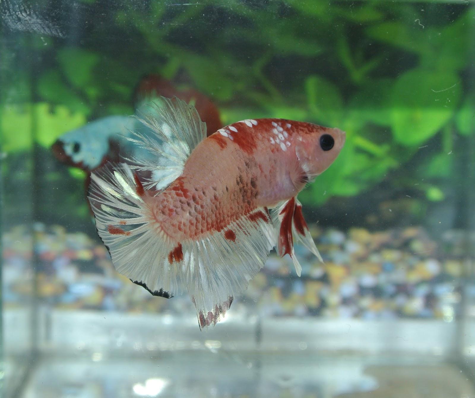 Betta fish afira betta hmpk 21 mei 2012 line indo fancy for Female koi fish
