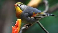 Burung Robin asal Amerika