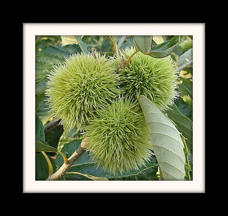 Nature's Choice Biodynamic Chestnuts
