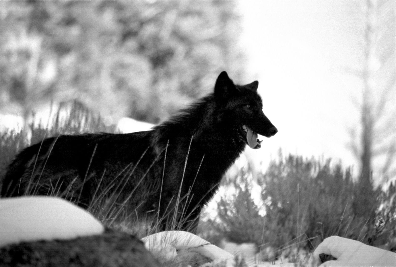 http://1.bp.blogspot.com/-XajSnvFw2sQ/TjmfrkYkkjI/AAAAAAAAARs/I7PEqyUz-UE/s1600/Wolf+Wallpapers+11.jpg