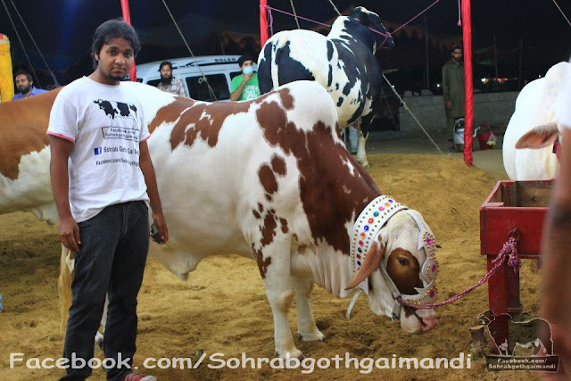 Rahman Cattle Farm 2013