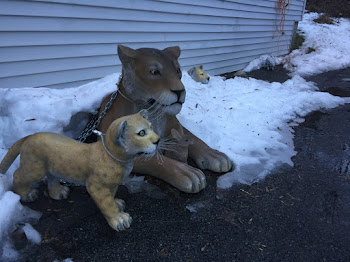 Lions of Winter Reappear as Snow Recedes