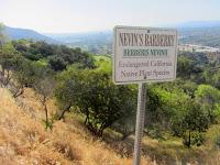 Nevins's Barberry (Berberis nevinii) on Toyon Trail, Griffith Park