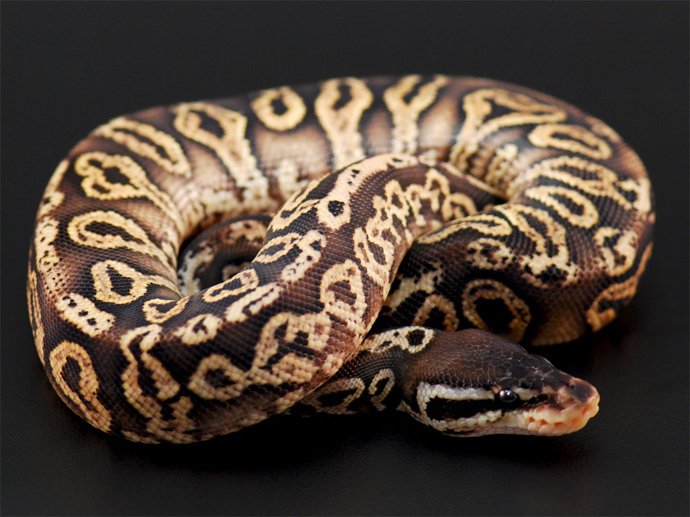 Black Pewter Ball Python Yellow belly black pewter ball