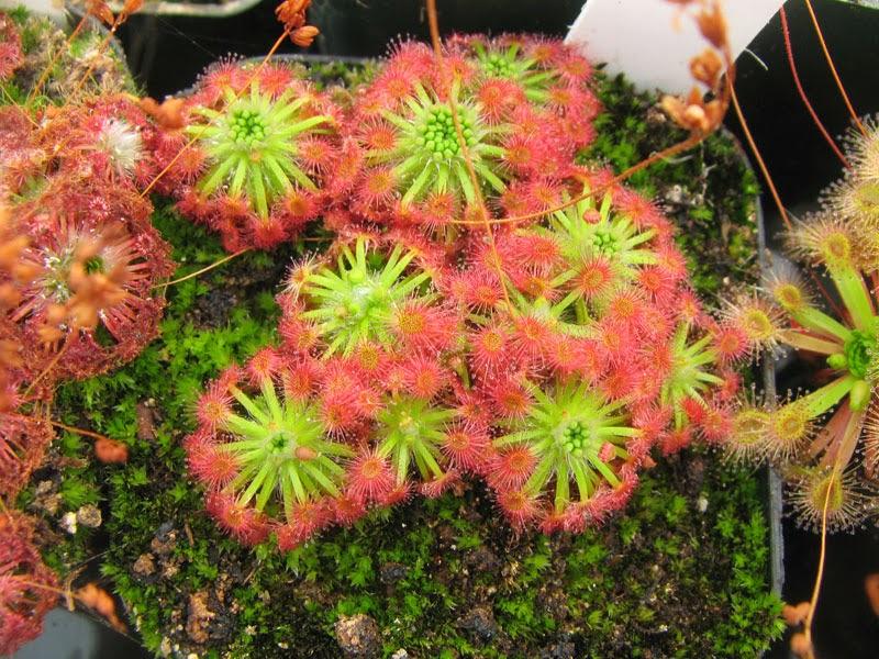 Carinvorous Plant at Mesa Exotics - drosera - Pygmy Sundew
