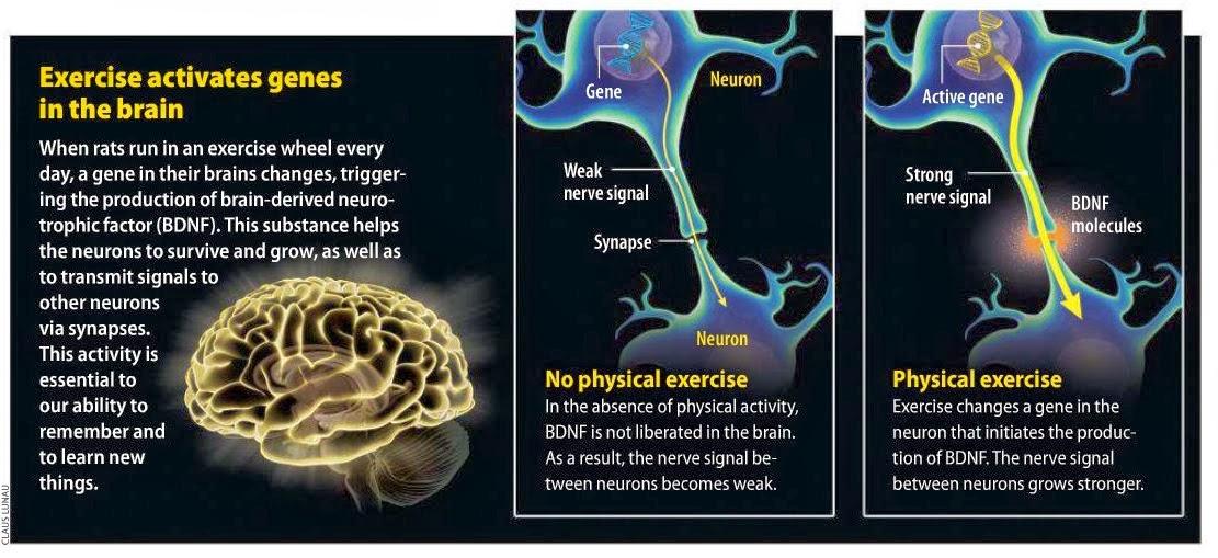 Strength training benefits the brain