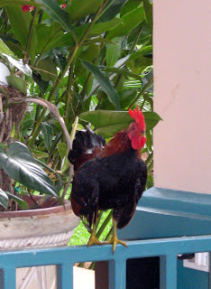 bantam jungle fowl rooster