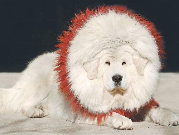 Rare Albino Horses Drakyi Tibetan Mastiff
