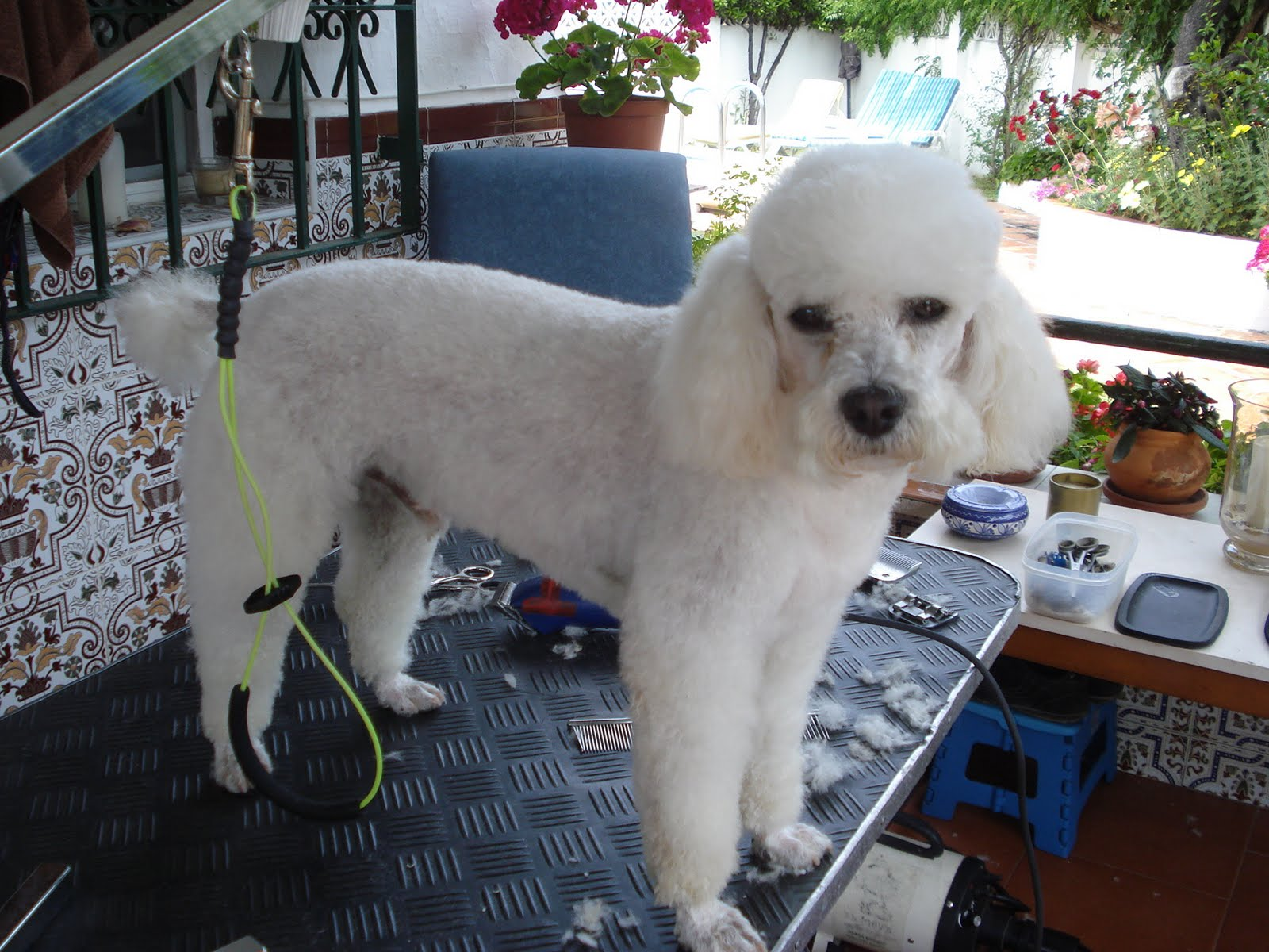 ... Groomer: Alfie - The Miniature Poodle - LAMB Cut with French Mustache
