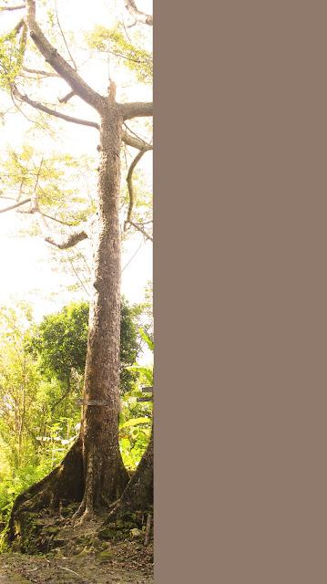 pohon keramat gambyong