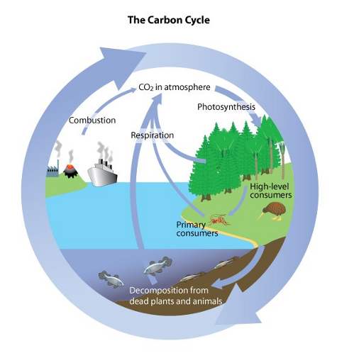 carbon cycle 1 Examine the mauna loa co 2 data build a stella model of the global carbon cycle in order to understand natural and anthropogenic processes in this cycle.