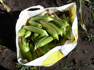 A brimming bag of corn cobs