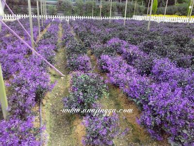 taman lavender genting highland