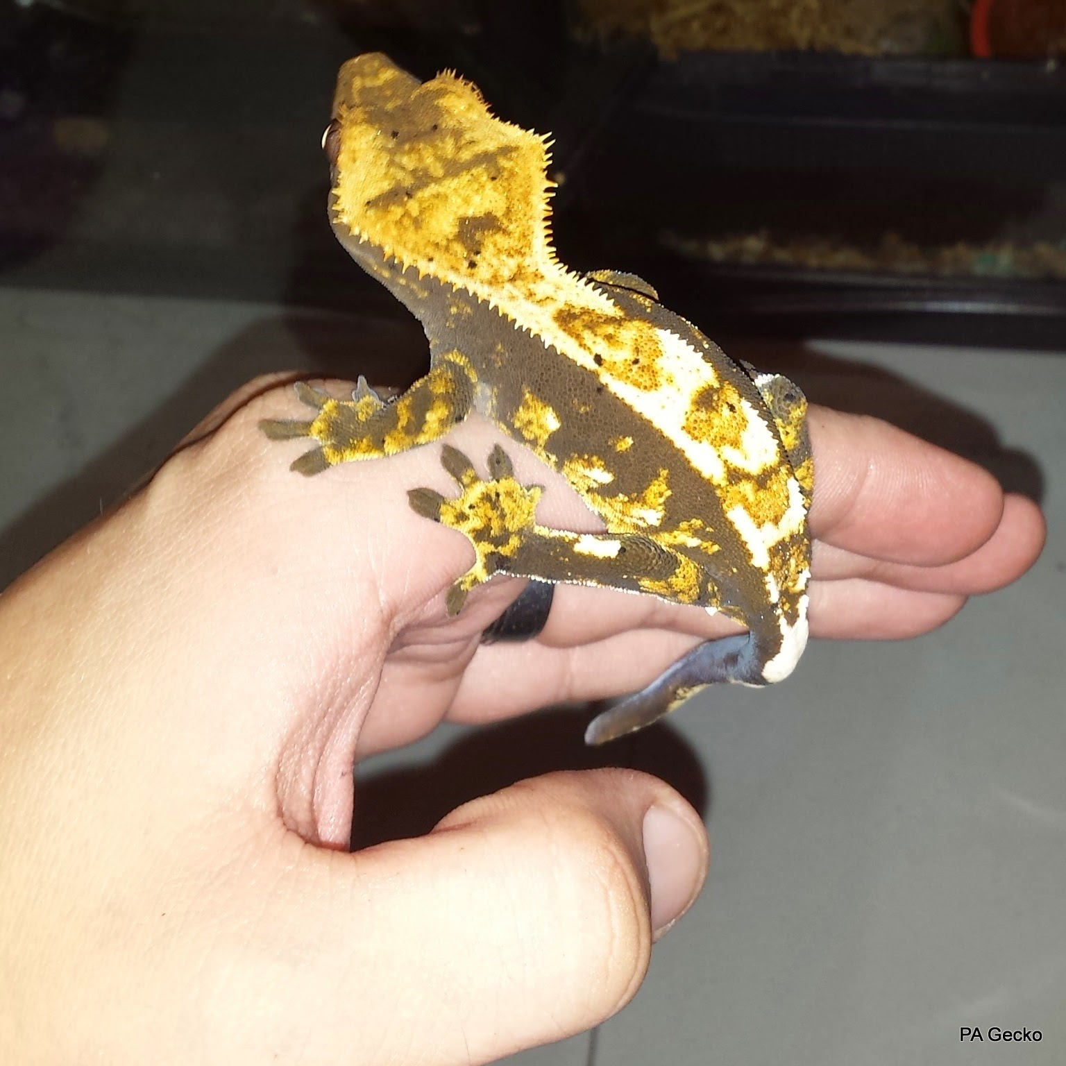 PA Gecko Crested Gecko Male 1