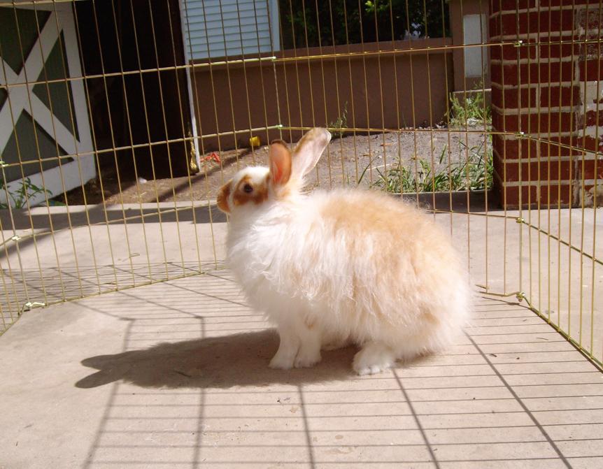 foto kelinci anggora - gambar hewan