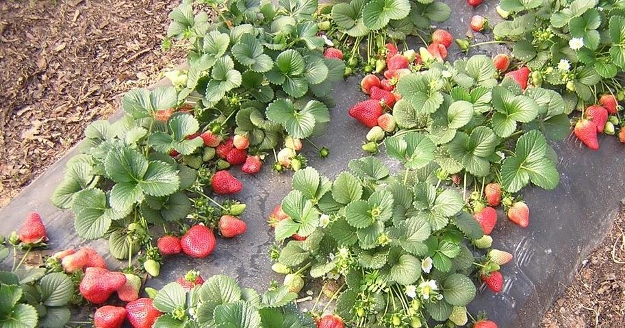 Выращивание земляники в горшках агротехника 95