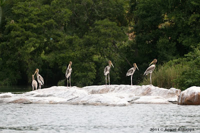 juvenile painted storks at ranganathittu