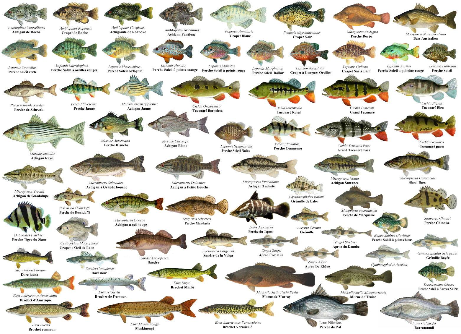 Betta prints world of fish posters for World of fishing