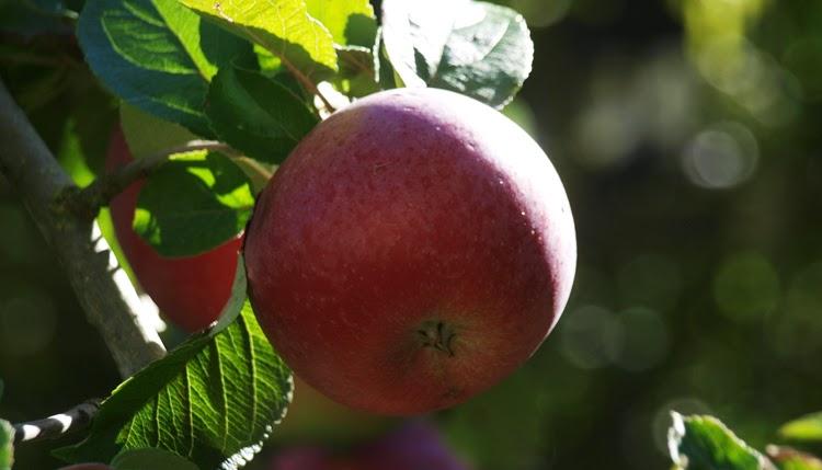 Rød Aroma er et sundt og godt valgt af sort æbletræ. Flotte og sprøde æbler med god smag