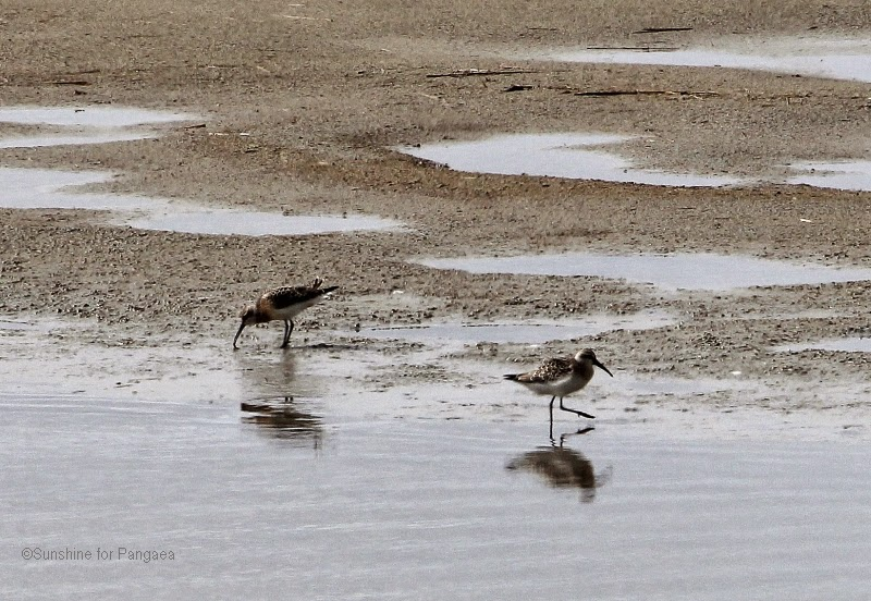 Curlew Sandpipers on the North Sea