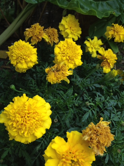 ... they nodded. Marigolds were the most abundant flowers at the market