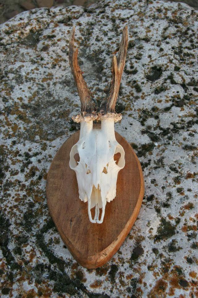 El Gallo Taxidermia: Un truco para blanquear huesos