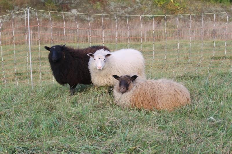 Icelandic ewes Elli, Finn and Berrit