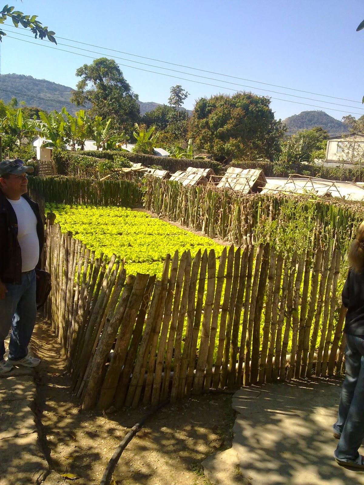agricultura lechuga