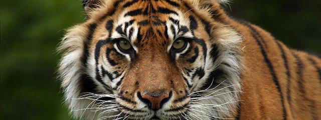 Bali Zoo Sumatran Tiger