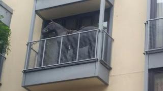 Pferd Balkon Engelbertstraße Köln