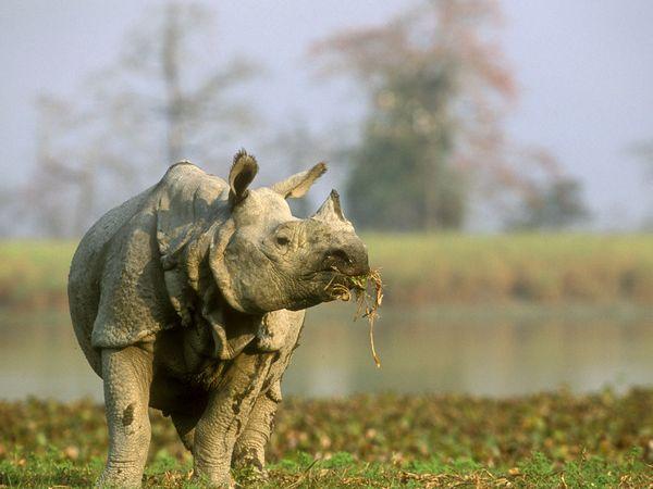 single horned rhino Minden