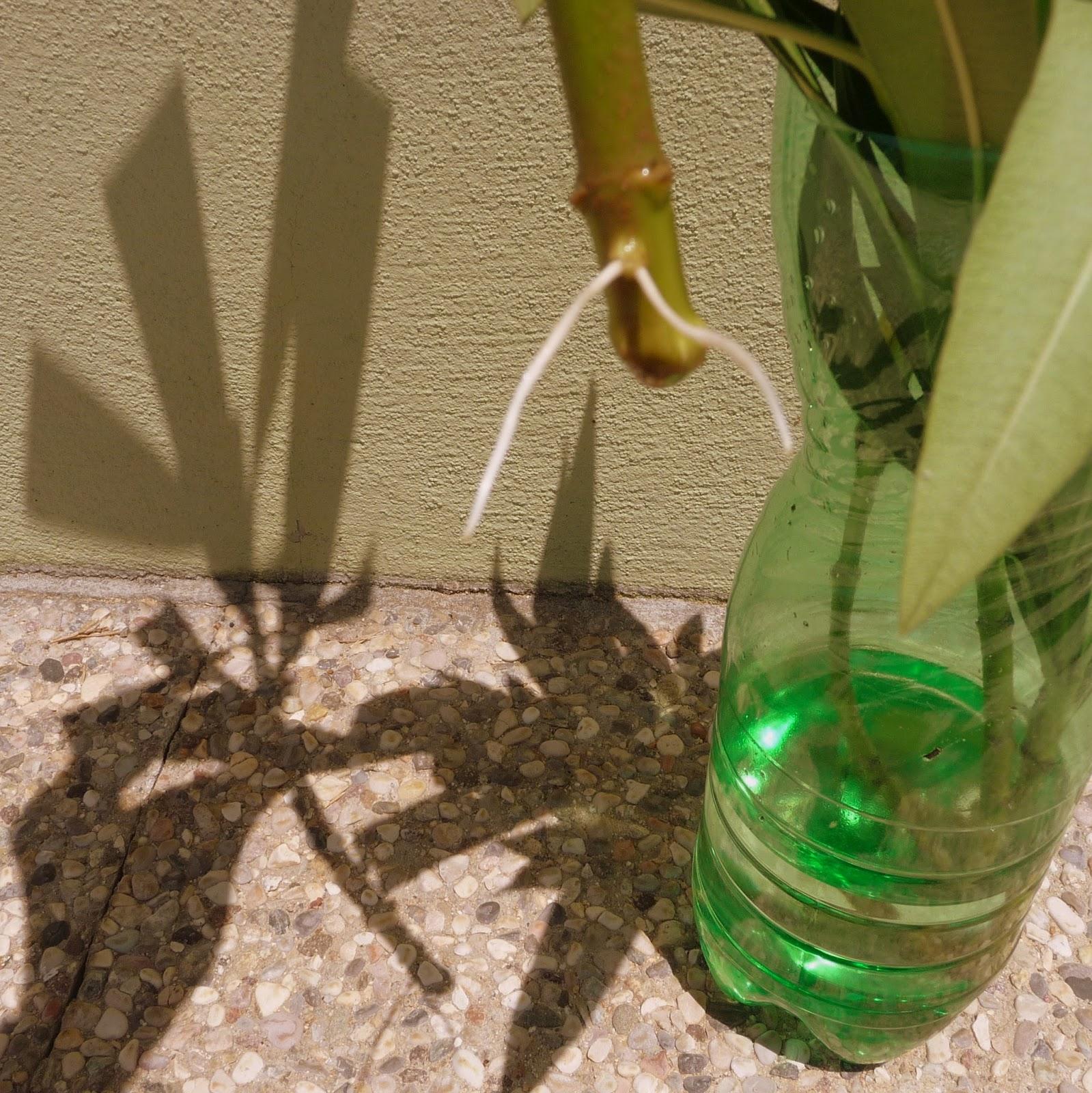 Talea fatta rose semplici for Oleandro riproduzione