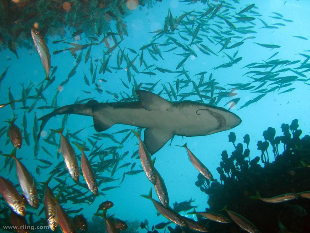 اسماك القرش تحت الماء Grey-Nurse-Shark-wit