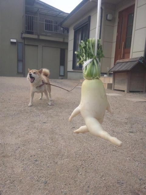 白蘿蔔走路,大根逃走中被狗追